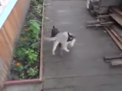 Tiny chihuahua plays fetch with his cat friend's big body.