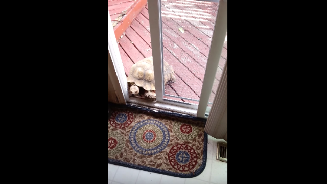 This door-opening tortoise is the worst home invader ever.