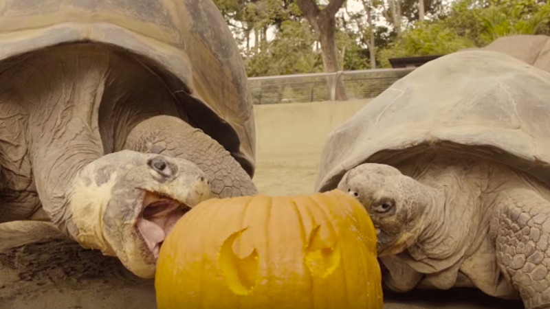 Celebrate Halloween with these 100-year-old tortoises eating pumpkins.