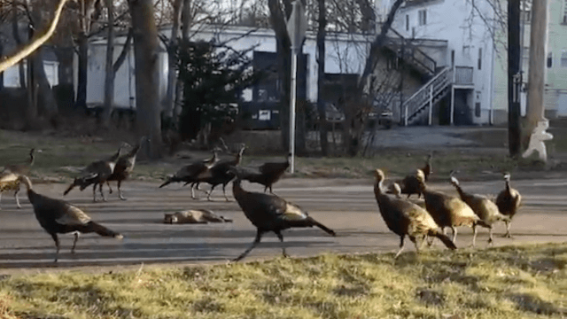 Twitter is freaking out over this super creepy video of turkeys doing some weird ritual around a dead cat.
