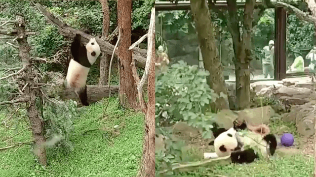 Twitter has fallen in love with this panda who keeps falling out of trees.