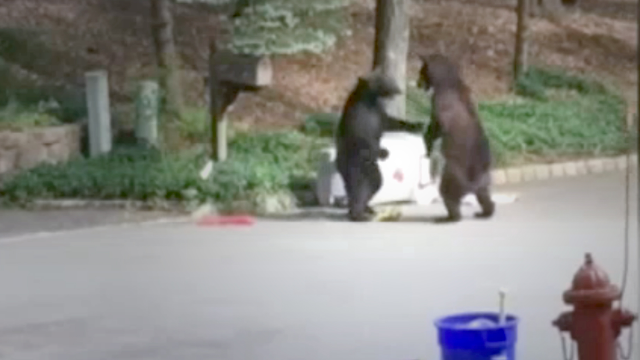 Two bears box each other over some delicious New Jersey garbage.