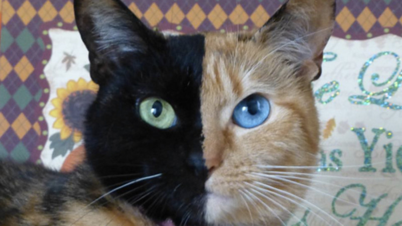Because we have all lost our sense of whimsy, no one believes this 'two face' cat is real.