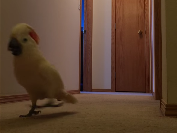 This riled-up cockatoo is running all over the house and he is pissed about something.