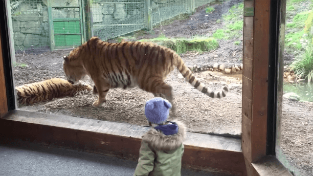 Kid learns it's probably not the best idea to wake a napping tiger. Even if you're another tiger.