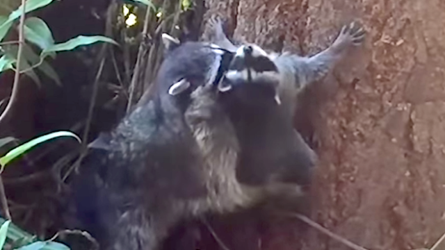 Watch this baby raccoon peacefully protest its mom's tree climbing lesson.