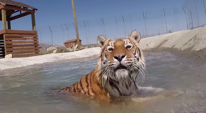 """Watching these rescued tigers swim for the first time will """"awww"""" you right in the feels."""