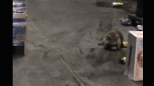 We've all been this raccoon who broke into a booze warehouse and got wasted...right?