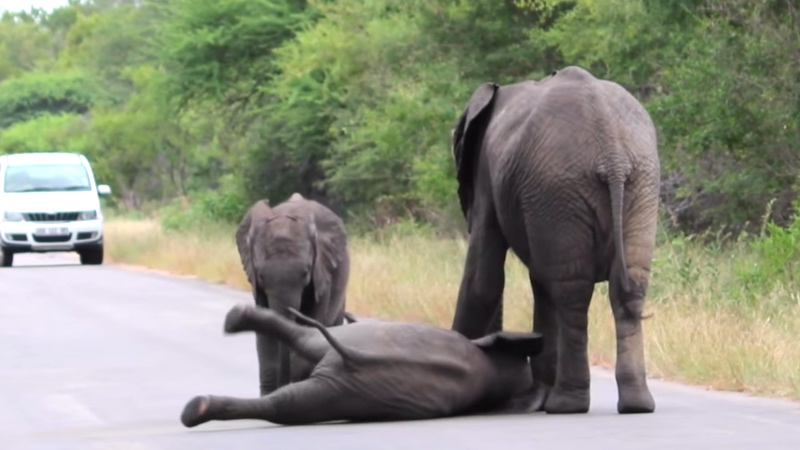 When a baby elephant collapsed in the road, the herd came together to do something remarkable.