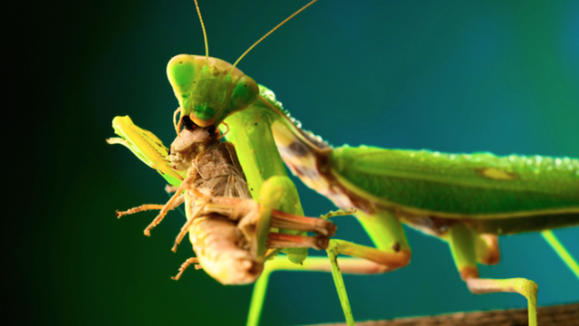 Why would God make this? Week 3: The Praying Mantis