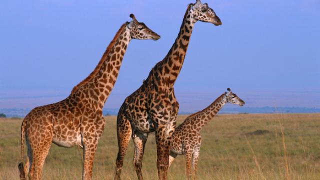 Why Would God Make This? Week 4: The Giraffe