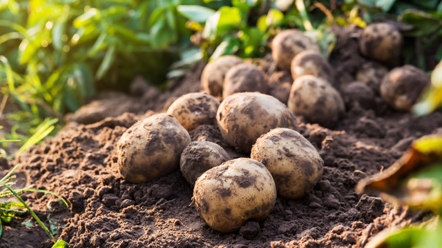 Woman grows roots out of her vagina because she used a potato as contraception.