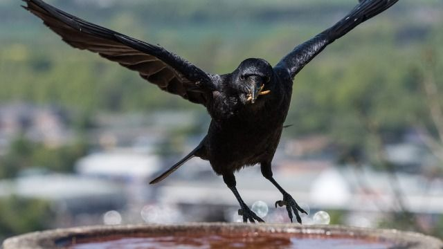 Woman shares amazing story of how feeding local crows possibly saved neighbor's life.