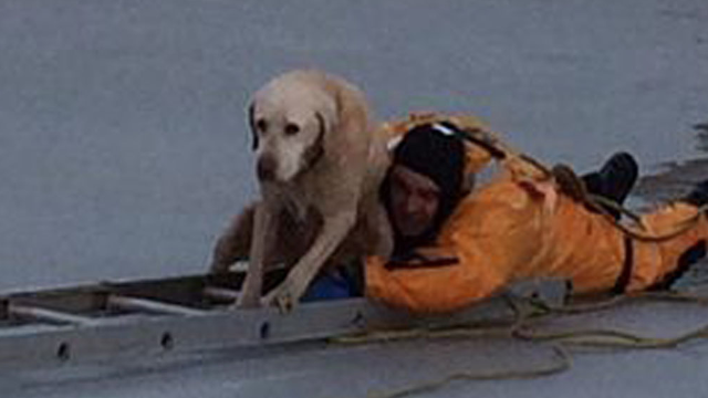 After stumbling into icy situation, yellow Lab saved in a heart-melting rescue.
