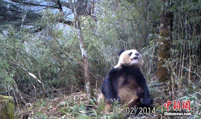 Caught on tape: masturbating panda!