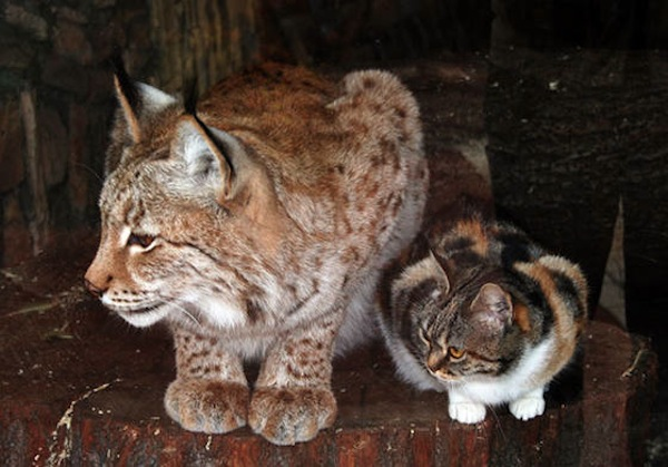 A stray cat crawled into a lynx's cage at the zoo, and now they're best friends.