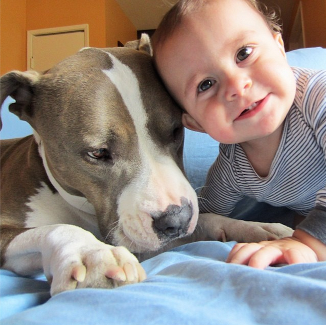 This baby can't stop laughing while getting a tongue bath from a pit bull.