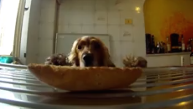 This dog stealing food from the counter thinks he's getting away with it. He's not.