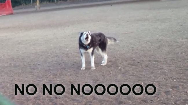 This Husky throws a vocal tantrum whenever it's time to leave the dog park.