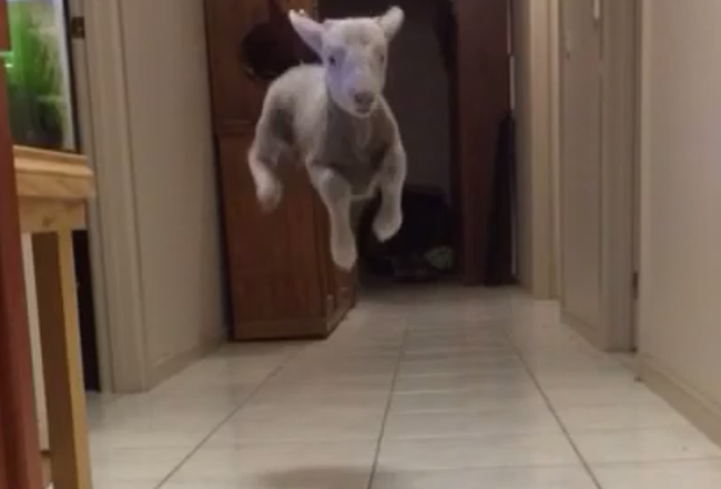 This woman's pet lamb is bouncing his way to Vine stardom.