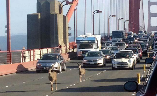 Two deer crossing the Golden Gate Bridge stopped traffic beautifully.