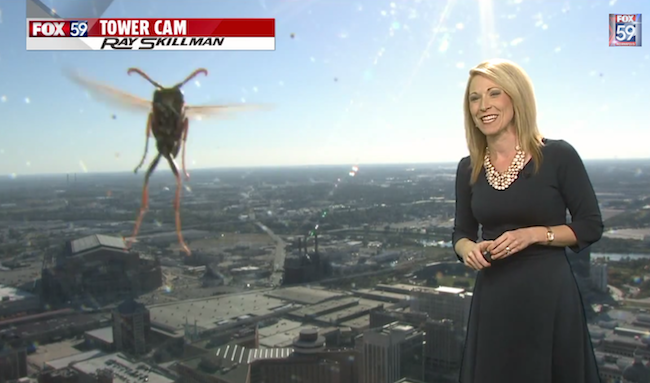 This weather lady stormed out after a giant bee appeared during a live broadcast.