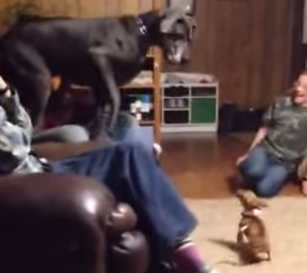 Watching a Great Dane cower in fear of a Chihuahua never gets old.