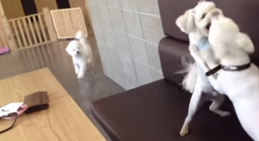Watch a little tiny dog break up a heated argument between two other little tiny dogs.