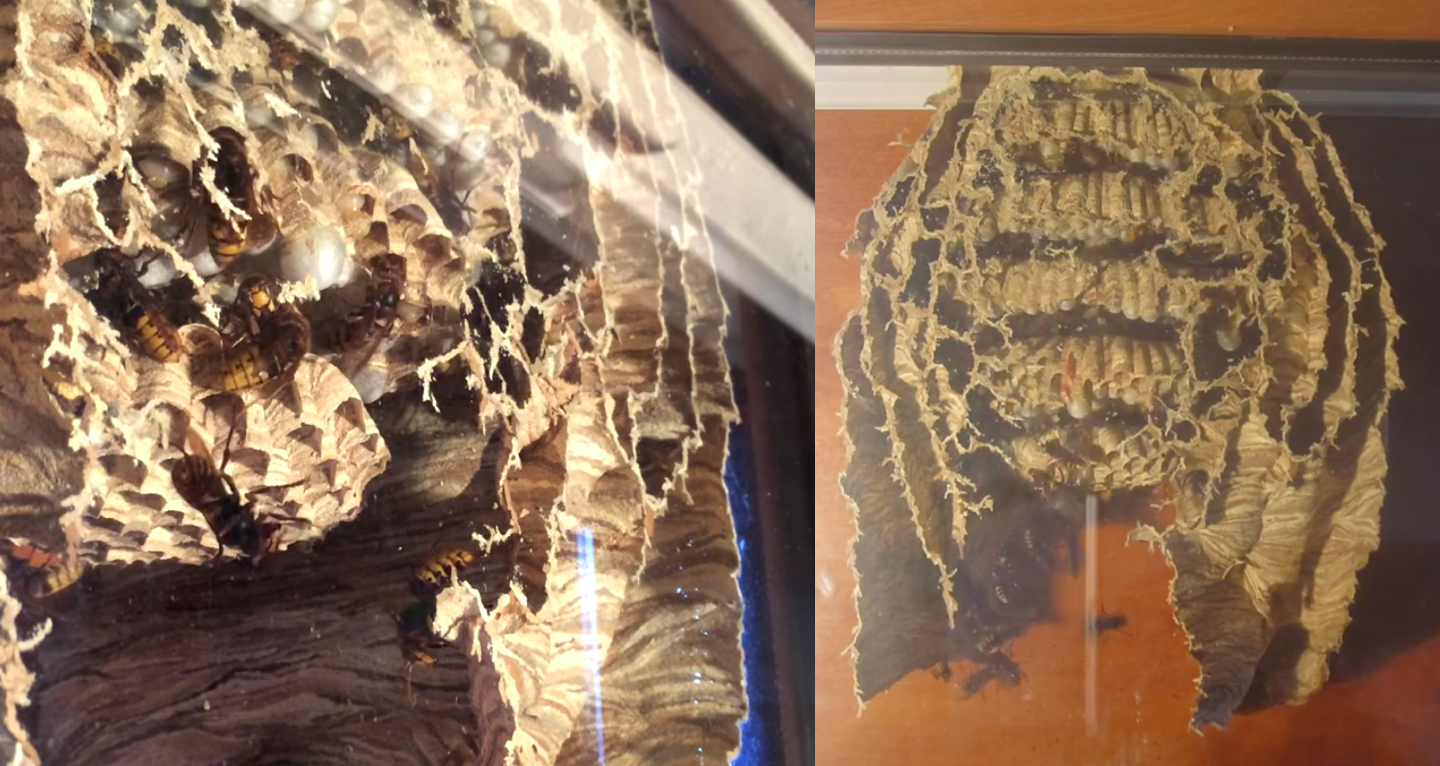 Giant wasp nest growing in a man's window is the perfect balance between cool and horrifying.