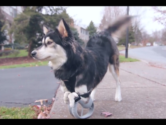 Dog born without front legs can now run around on 3D-printed paws.