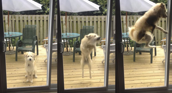 Somebody let this high-jumping dog inside before he smashes right through the sliding glass door.