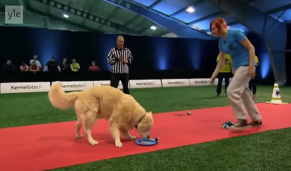 Golden Retriever totally sucks at the part of dog show where you're not supposed to be distracted by toys and food.