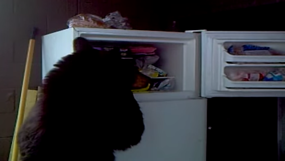 Here's a bear just looking through a freezer hoping to find something good to eat.