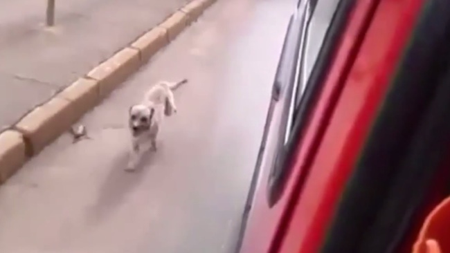 This dog chased the ambulance carrying his owner until they stopped and let him in.