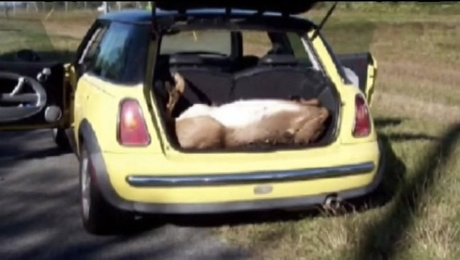 Four dudes found passed out in a MINI Cooper with four dead deer.