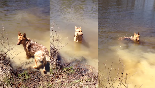 This German Shepherd throws a tantrum when it's time for her to stop swimming.