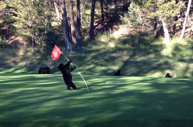 This bear cub dancing with a flagstick is way more exciting than actual golf.