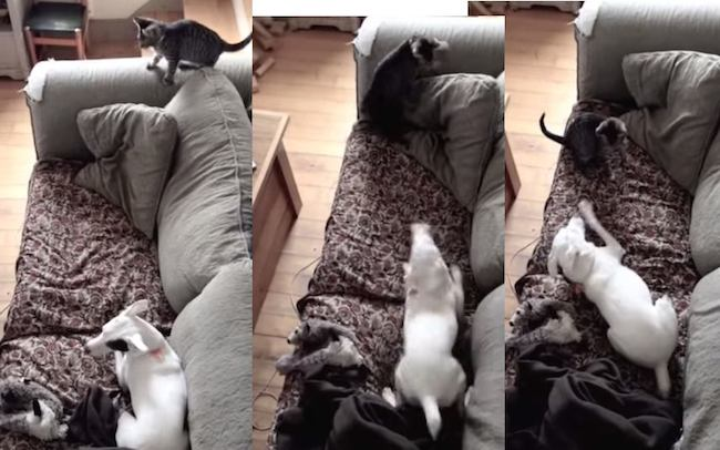 Watch a Jack Russell Terrier meet the new kitten and lose its mind.