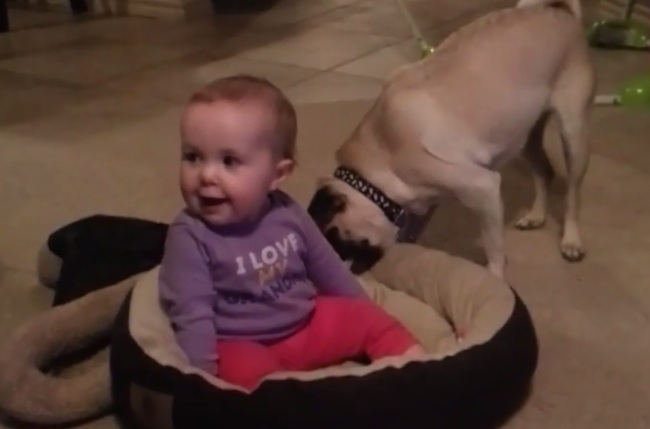 This pug flips when the baby steals its bed.
