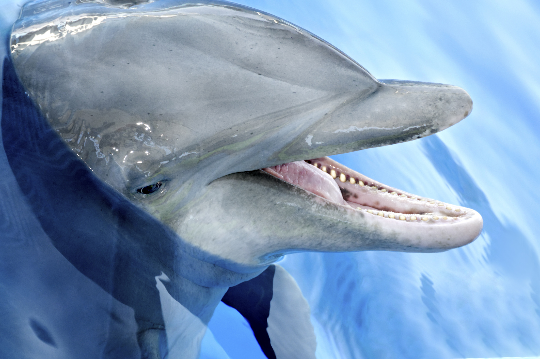 """""""Intimidating dolphin"""" attacks five swimmers, coastguard called in for rescue."""
