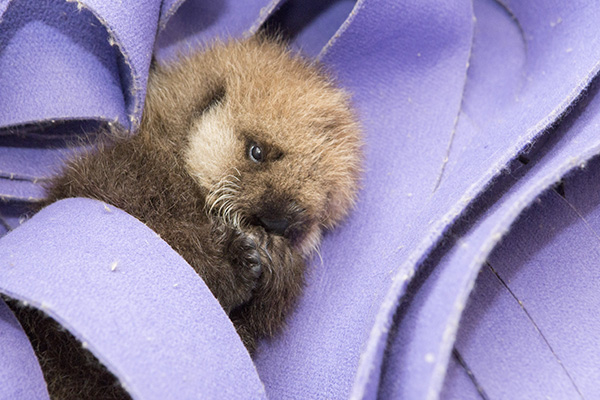 An adorable orphaned sea otter pup just got a new home.