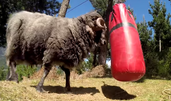 Angry Ram enters into a never-ending battle with a punching bag.