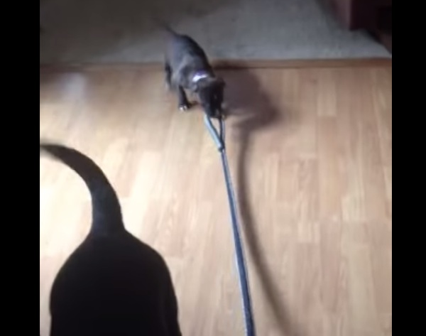 Puppy tries to take dog for a walk and gets taken for a ride.