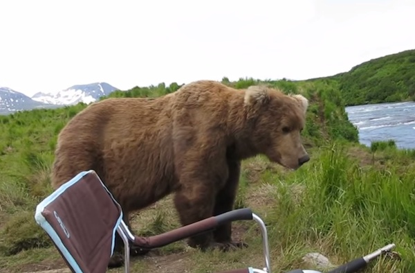 Some guy chilled with an Alaskan brown bear and did not get eaten.
