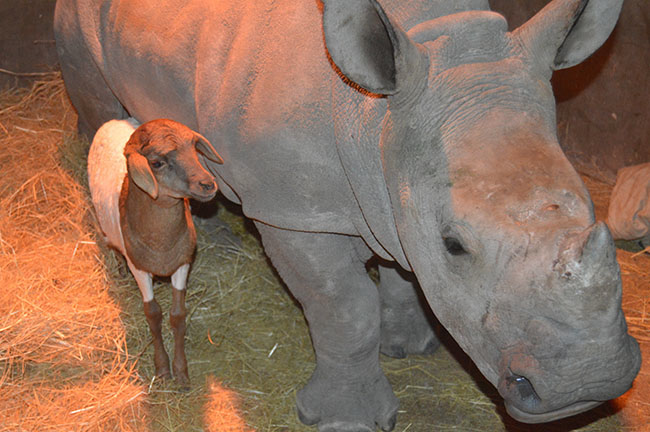 This lamb and her baby rhino companion have learned to set aside their differences.
