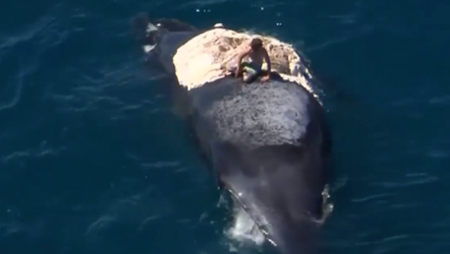 This guy surfed on top of a dead whale while surrounded by sharks.