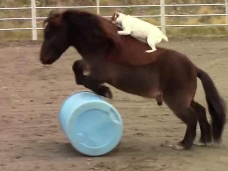 This little dog's best friend is a mini horse and they do tricks together, so stop complaining.
