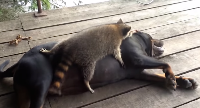 This raccoon and Coonhound are unlikely best friends.