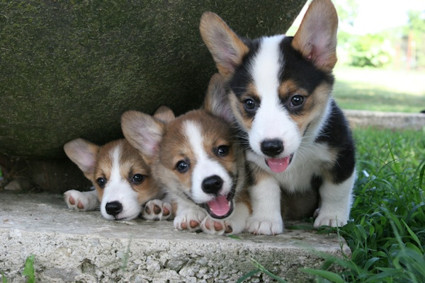 Bride-to-be on Craigslist is in desperate need of six corgis for her demented wedding ceremony.