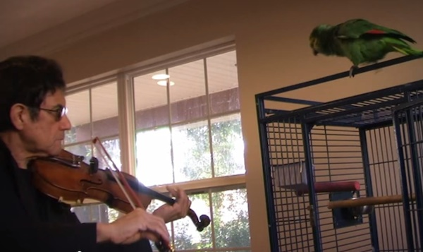 "This parrot can't say ""you suck"" but he makes his opinion of his owner's violin playing known."